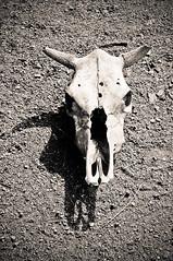 Destino (Allyson Correia) Tags: animal brasil dead skull nikon natureza destiny campo santacatarina caveira destino morto boi d90 nikond90 agrolândia
