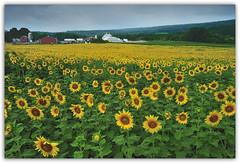 Sunflower Field, Brodhecker Farm (carlosmolinaphoto) Tags: flowers newjersey sunflowers yellowflowers carlzeiss branchville colorcombo sunflowerfield coth carlosmolina nikond3x carlosmolinaphotography coth5 brodheckerfarm 35mmf2tdistagon singhraylb