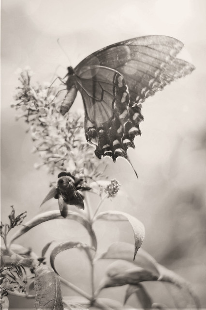 butterfly and bee sepia