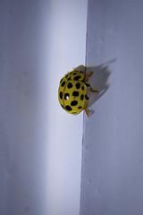 (Br0m) Tags: macro bug sony flash bugs ladybug brom 2011 nex5 sonyalphanex5