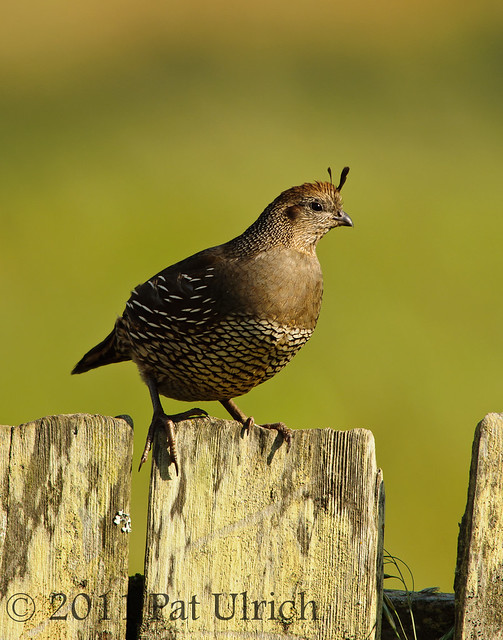 Female quail in Point Reyes - Pat Ulrich Wildlife Photography