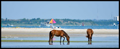 7388 - Where Wild Horses and People Meet (EJPNJ) Tags: wild horses horse ford island photography islands nc nikon wildlife 4 north bank 300mm pony carolina if ponies 300 outer nikkor f4 banks afs foal shackleford shacke d7000