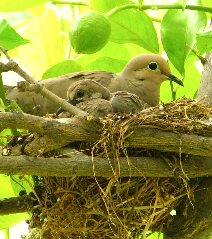 mother dove, baby dove, nest