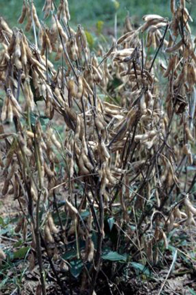 High yielding soybean plants