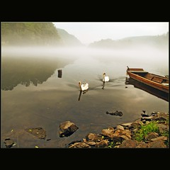Parents (dellafels) Tags: water fog river evening swan taxi vltava cygnets moldau dellafelspic davle artistoftheyearlevel2