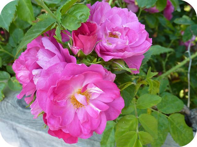 Roses at Trapp