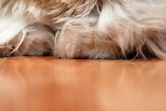 Paws (akk_rus) Tags: pet cats pets nature animal animals cat persian chats nikon feline chat russia moscow chinchilla gato marcello moskau moscou москва кошка россия кот коты d80 tamronspaf90mmf28dimacro nikond80
