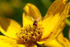 Syrphid Fly (Toxomerus marginatus) (sankax) Tags: macro insect fly minneapolis toxomerus syrphid syrphidfly sigma105mm toxomerusmarginatus marginatus canonxti