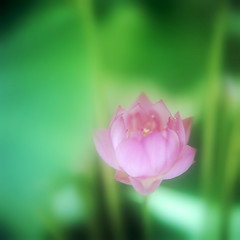 Lotus that cools oneself (Saraia77(Very slowly....)) Tags: flower color green 120 film nature japan mediumformat square leaf soft kodak hasselblad squareformat dreamy highkey dreamlike planar 500cm carlzeiss portra160nc closeuplens 66 carlzeissplanart carlzeissplanar planar8028 6elements