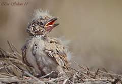 Crested Lark chick   -  () Tags: bird birds bin chick sultan crested qatar lark  birdwatchers