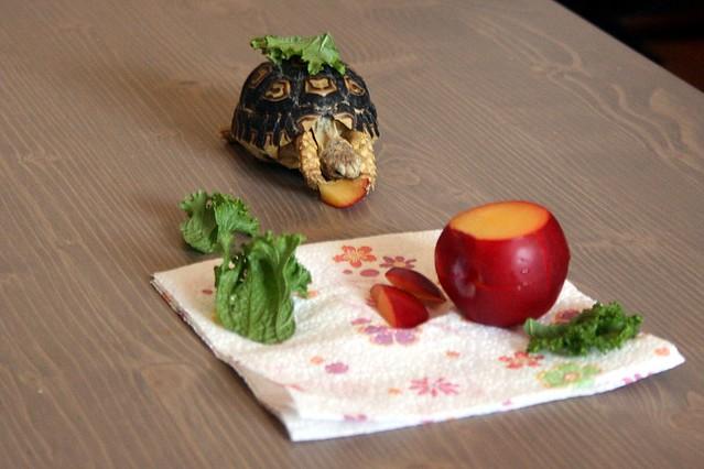 Genbu the Leopard Tortoise Eating 3