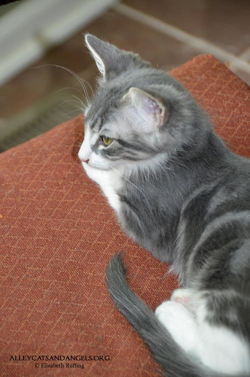 Ignatius the gray-and-white kitten, Alley Cats and Angels