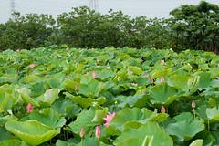 DSC_9647 (asan_liu) Tags: nikond50  lotusflower nikkorafsvr70300mmf4556gifed