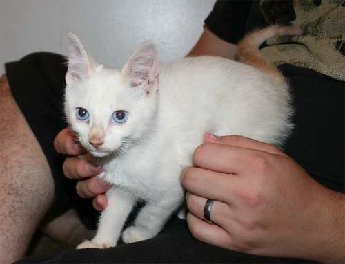 Crispin, a teeny tiny cream-colored kitten with a dirty nose, a stripey orange tail, and beautiful pale blue eyes, stands on my husband's leg and looks toward the camera.