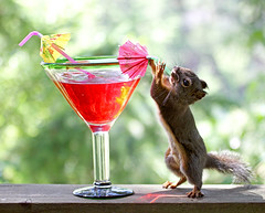 Drinks are on me! (Peggy Collins) Tags: red canada color green yellow drunk umbrella backyard squirrel colorful bokeh britishcolumbia drinking straw drinks alcohol pacificnorthwest booze penderharbour happyhour tipsy sunshinecoast maitai cocktailhour douglassquirrel umbrellastraw abigfave tropicaldrink peggycollins colorfuldrink funnysquirrelpicture