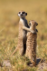 Dance little sister (Wild Dogger) Tags: africa travel nature animals canon tiere wildlife urlaub ngc natur adventure safari afrika predator mammals carnivore 2010 noahsark mercat suricate suricatasuricatta erdmnnchen sugetier abenteuer raubtiere canoneos7d thomasretterath canonef300lis28usm blinkagain bestofblinkwinners