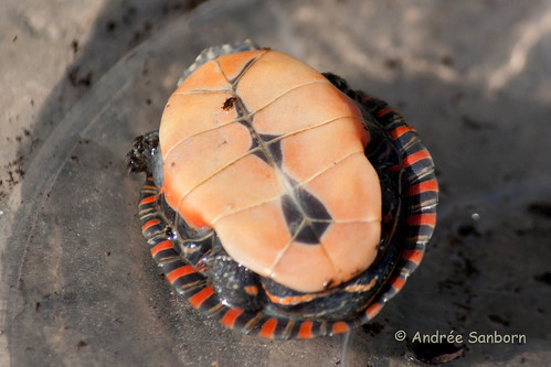 Our Baby Painted Turtle (Chrysemys picta)-7.jpg