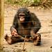 Chimpanzés são os mais engraçados e inteligentes