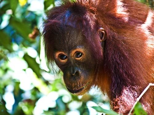 Pequeño orangután!