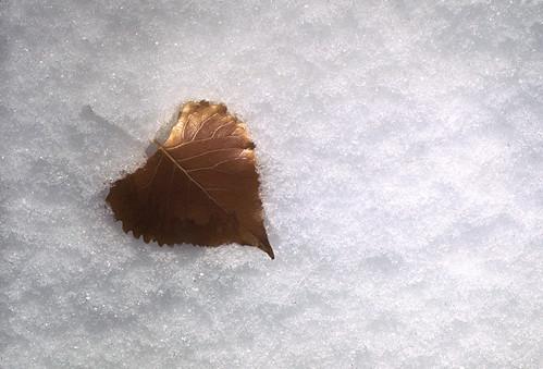Photo - Snow Leaf