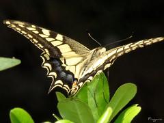 Farfalla #10 (Franco Gavioli) Tags: macro butterfly sicily augusta mariposa sicilia francesco farfalla 2011 macaone gavioli wonderfulworldofmacro canonsx10is fragavio