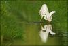 White Magic (hvhe1) Tags: reflection bird animal river mirror wings fishing wildlife waterfowl egret musquito whitemagic spiegeling egrettaalba naturesfinest greatwhiteheron grotezilverreiger specanimal hvhe1 hennievanheerden avianexcellence
