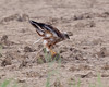 Scatological Capture (Andrew Haynes Wildlife Images) Tags: male bird norfolk nwt marshharrier cleymarsh ajh2008