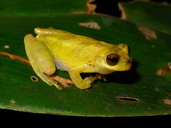 Lesser treefrog (Junglenews) Tags: amazon frogs amphibians treefrogs roraima amazonia anura amphibia hylidae anfíbios anuros hypsiboas pererecas tepequém