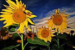 wind, viento (MARIUCA2014) Tags: wild sun sol yellow wind viento amarillo girasoles cruzadas cruzadatemtica mygearandme mygearandmepremium mygearandmebronze mygearandmesilver mygearandmegold cruzadasii
