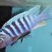 Metriaclima zebra 'Kande Island'