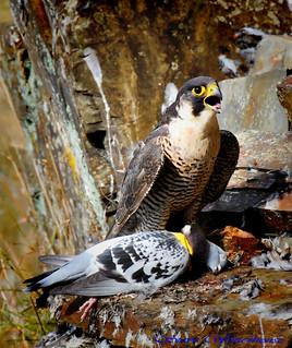 Adult Female Peregrine Falcon.