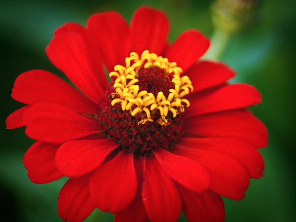 Zinnia's Crown of Yellow