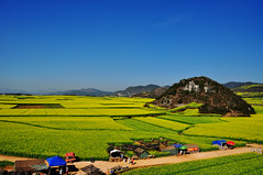 Stalls along the rapeseed field.... (Rosanna Leung) Tags: china blue sky field yellow hill stall yunnan  visitor hawker canola  rapeseed   luoping       rapeseedflower