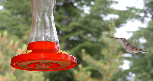 Hummingbird Feeding Fun