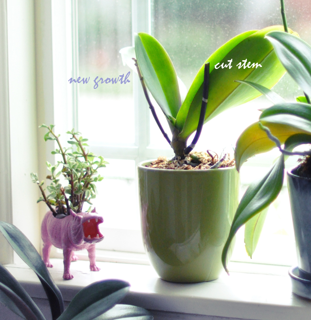 regrowing orchids