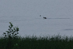 Loon Landing DSC_3178 by Mully410 * Images