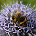 Bumble Bee & Flower Macro