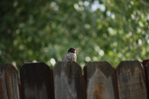 fence with robin