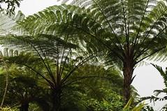 Bali, Buddhismus - Vihara Dharma Giri; Baumfarn (dendroaspis2008) Tags: trees bali tree indonesia rboles boom arbres rbol albero bume arbre rvore baum trd indonesien aa   baumfarn