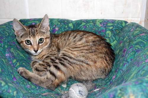 Coriander, a small grey and gold tabby kitten with big greenish eyes rimmed with dark eyeliner, lays curled in the green and purple kitten bed and stares at the camera, wide-eyed and fearful.