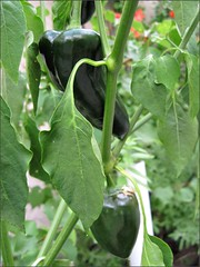 Green relleno chile peppers