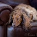 """Dachshund on Leather Couch • <a style=""""font-size:0.8em;"""" href=""""https://www.flickr.com/photos/42033369@N08/5992589589/"""" target=""""_blank"""">View on Flickr</a>"""
