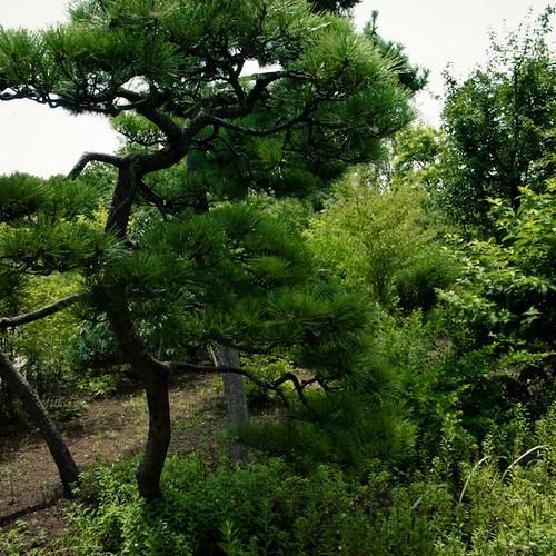 Crooked Pine Tree, Mukojima Hyakkaen Garden