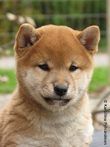 柴犬可愛いのになんでトイプーやチワワ買うの?