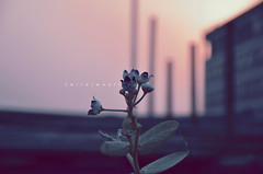 Wild | West (Crosshatchs) Tags: pink sunset art colors architecture nikon soft dof quotes crossprocessing closeups wildflower constructionsite lahore goldenhour florafauna crosshatch 18105mm zeejay d7000
