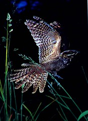 Nightjar (Buzzard2001) Tags: nightjar allofnatureswildlifelevel1 allofnatureswildlifelevel2