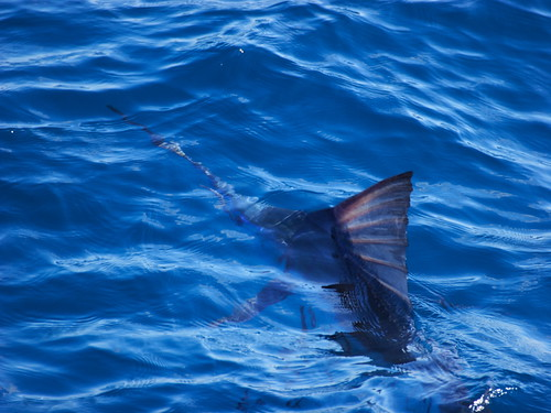 在海面游動的旗魚