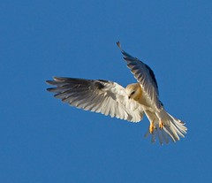 WHITE-TAILED KITE (sea25bill) Tags: california morning blue summer sky usa sun color bird nature raptor whitetailedkite