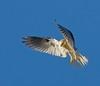 WHITE-TAILED KITE (sea25bill) Tags: california morning blue summer sky usa sun color bird nature raptor whitetailedkite