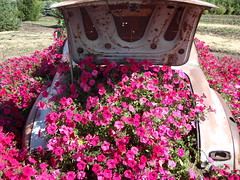 Pink October Awareness (Mr. Happy Face - Peace :)) Tags: pink flowers friends canada colour abandoned beautiful garden bench rust colorful metallic full alberta trunk rustycar facebook twitter hennysgardens instagram twozweideuxduedva2